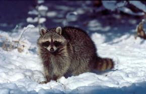 raccoon-on-snow