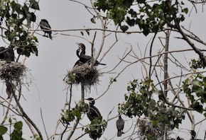 double-crested-cormorants-in-nests-in-trees-at-tommy-thompson-park-toronto